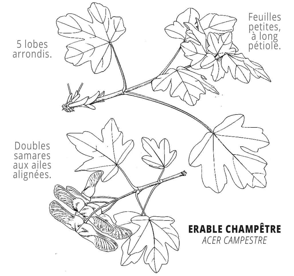 erable-champetre-identification