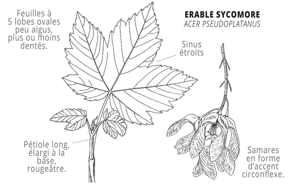 erable-sycomore-identification