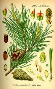 Pin sylvestre - Pinus sylvestris - Illustration naturaliste