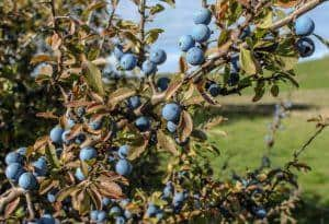 prunellier-en-fruit-prunus-spinosa